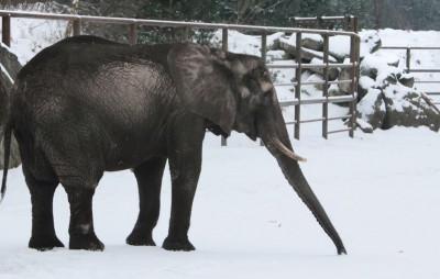 Elefantenkuh Umtali im Schnee, Foto: Serengeti Park