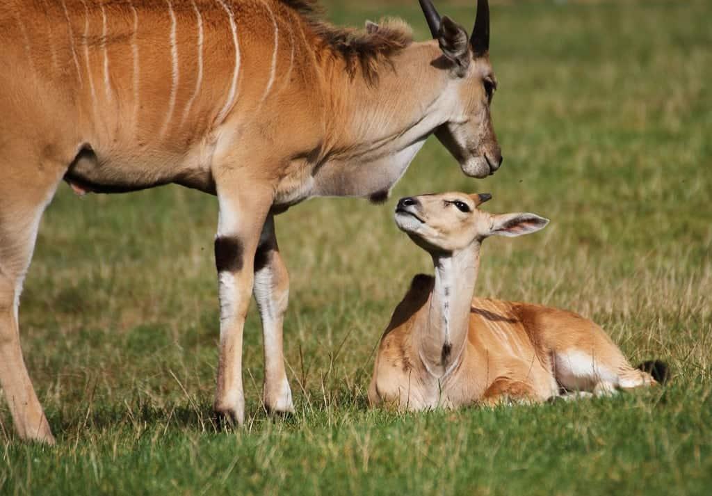 Elenantilopen - Mutter mit Jungen, Foto: Serengeti-Park Hodenhagen 2016