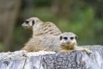 Erdmännchen, Foto: Serengeti-Park Hodenhagen