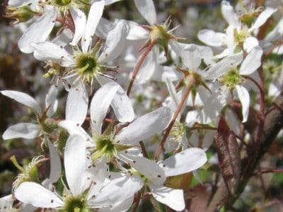 Weiße Blütenpracht der Felsenbirne im Frühjahr