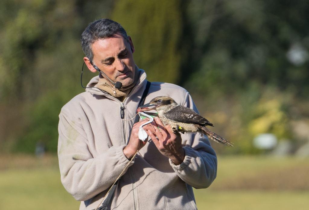 In der Flugshow mit Vogeltrainer German Alonso zeigt der Lachende Hans seine besondere Jagdtechnik. Foto: Weltvogelpark Walsrode