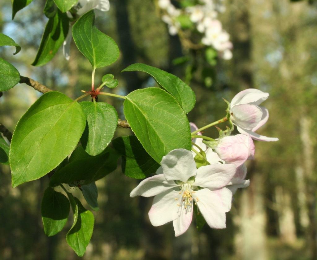 Wildapfel-Blüte Foto: H. J. Kelm/Niedersächsische Landesforsten