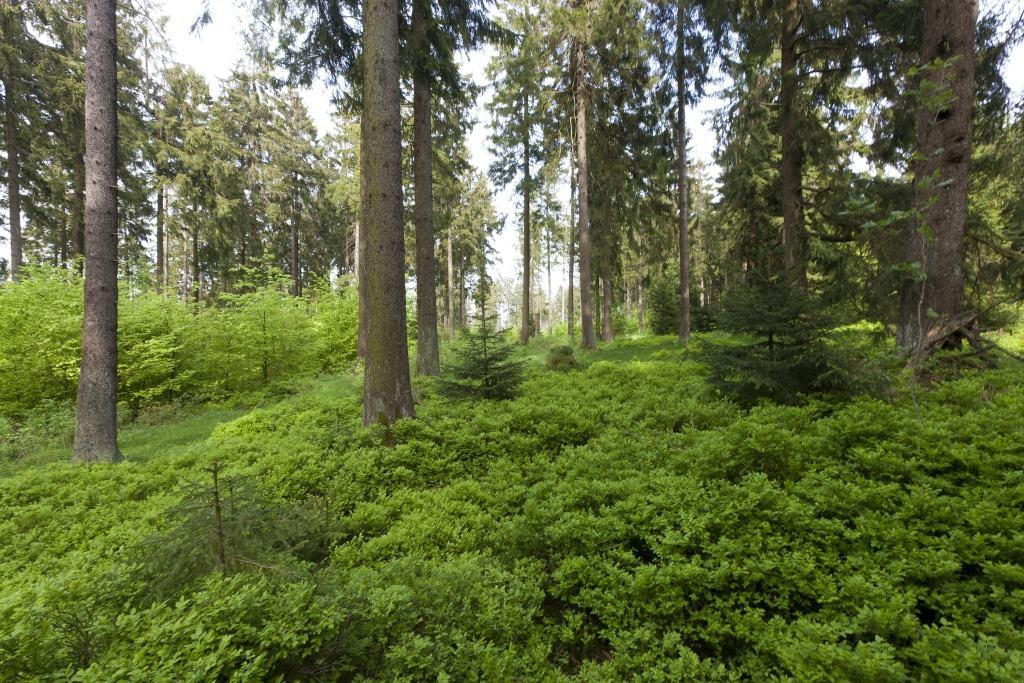 Die Fichte wird auf geeigneten Standorten und in Mischung mit anderen Baumarten auch zukünftig eine wichtige Rolle in den niedersächsischen Wäldern spielen. (Fotos: T. Gasparini / Niedersächsische Landesforsten)