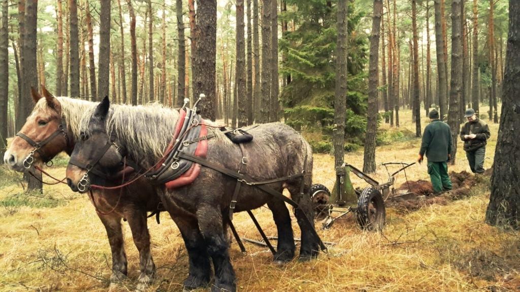 Die beiden Ardennen-Kaltblüter von Douke Eekman haben in der Försterei Gohlau Saatstreifen gepflügt. Foto: Siems / Niedersächsische Landesforsten