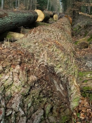 """Begehrt war in diesem Jahr die sogenannte """"Wildeiche"""". Sie zeichnet sich durch einen unregelmäßigen Wuchs  mit kleinen Astbeulen und Reisern aus, das Holz ist lebhaft gemasert. (Foto: Ellen Byng)"""