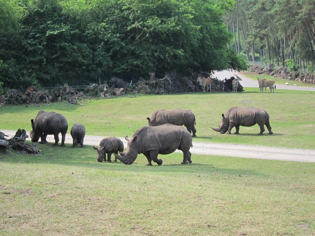 Friedlich grasen die Nashörner im Freigehege inmitten der anderen Tiere. Foto: Anne Bremer