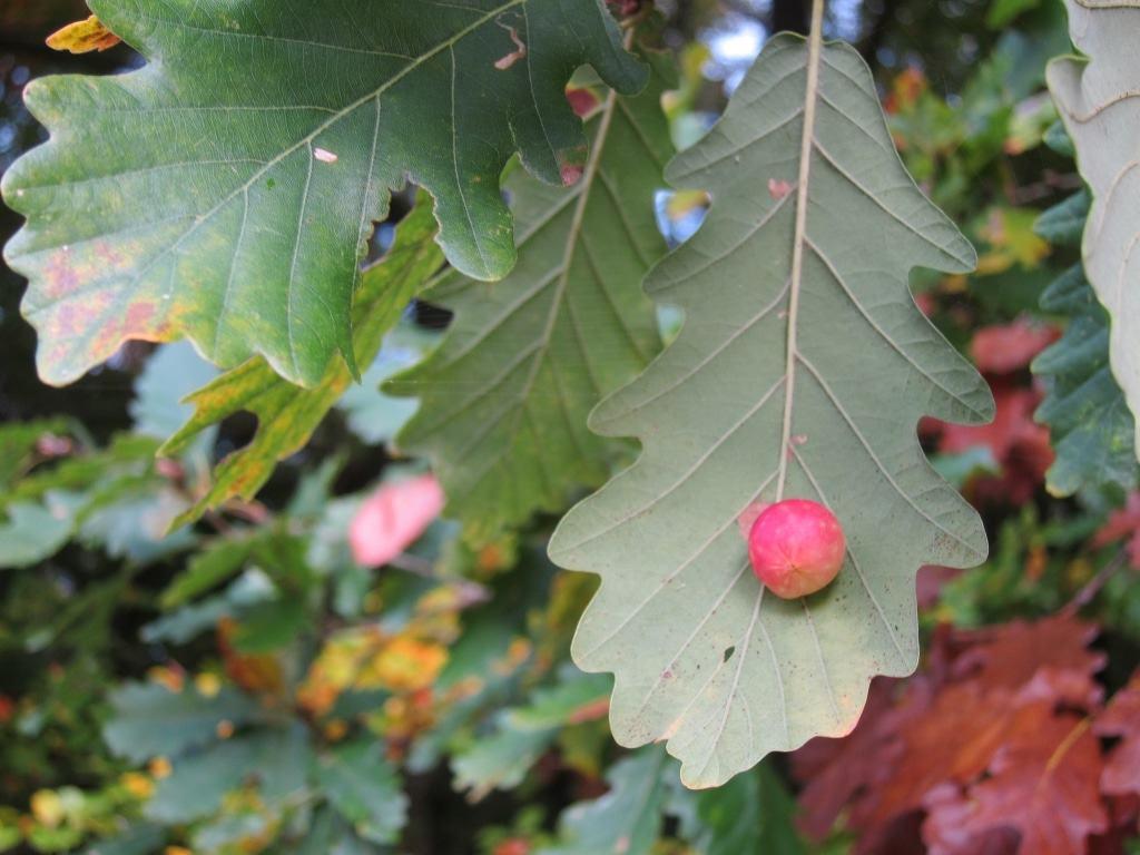 Gallapfel: Pflanzengalle auf einer Blattader eines Trauben-Eichenblattes.