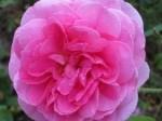 Pinkfarbene englische Rosenblüte