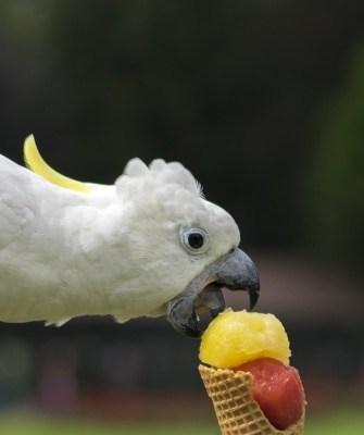 Das Eis schmeckt dem Gelbhaubenkakadu Foto: Weltvogelpark Walsrode