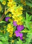Goldgelber Felberich und Storchschnabel in Blüte