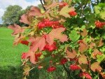 Gemeiner Schneeball (Viburnum) mit Früchten