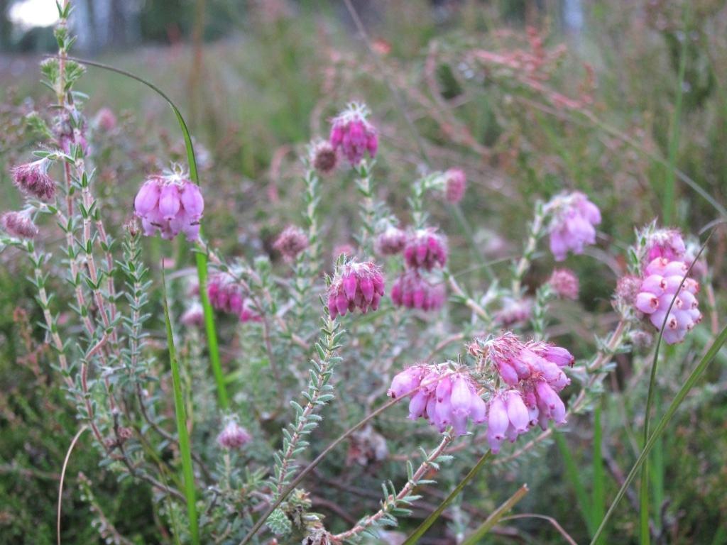 Blüht jetzt schon: Die Glockenheide (Erica tetralix), zum Beispiel im Möhrer Moor bei Schneverdingen