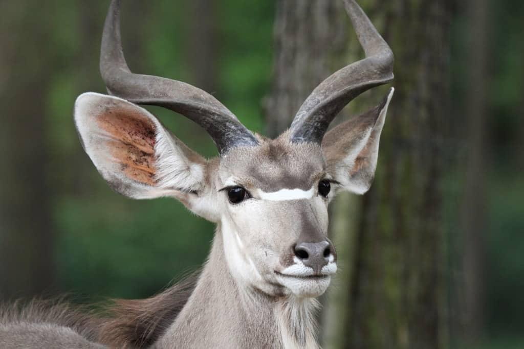 Großer Kudu, Foto: Serengeti-Park Hodenhagen 2016