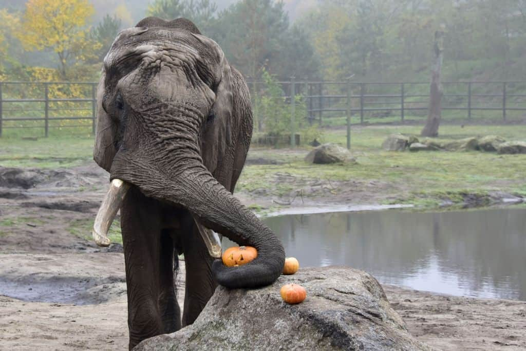 Elefantenbulle Tonga verspeist Kürbisse aus der Herbstaktion - Foto: Serengeti-Park 2015