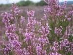 Heideblüte - Blühendes Heidekraut (Calluna vulgaris)