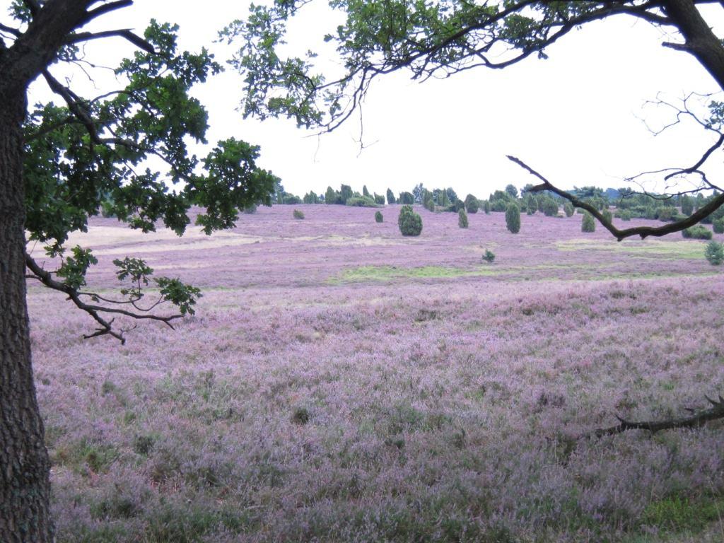 Heidefläche bei Niederhaverbeck (Heidetaler Heide) in voller Blüte 2014