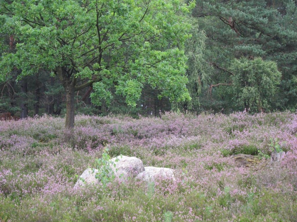 Findlinge, Eichen, Kiefernwald und Heideblüte in der Schwindebecker Heide 16.08.2015