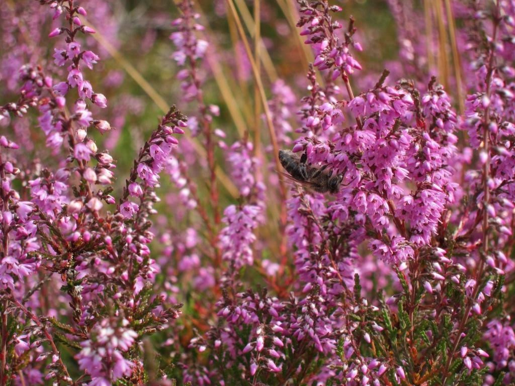 Blühende Heide mit Biene, Klein Bünstorfer Heide 2016