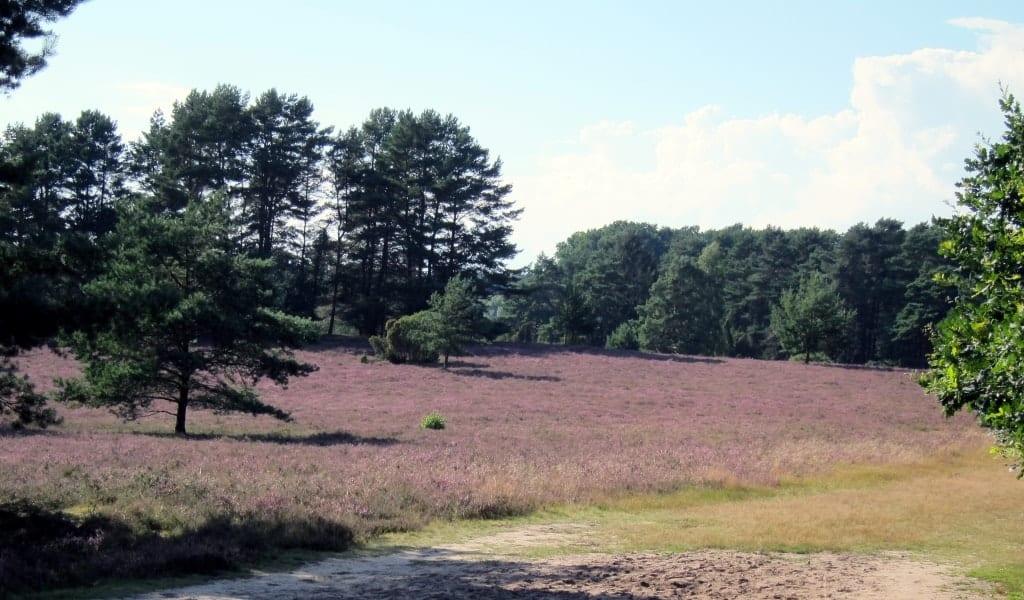 06.08.2016: Heideblüte in der Misselhorner Heide, Hermannsburg