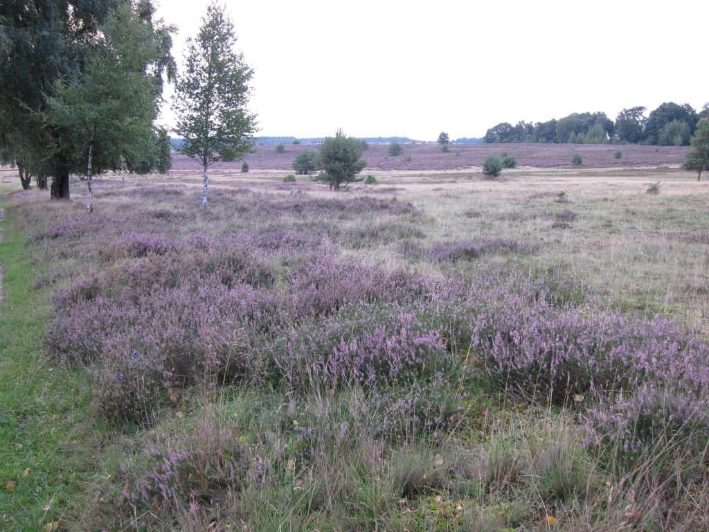 Große blühenden Heideflächen zwischen Tütsberg und Wulfsberg am 25.08.2015 gegen Abend.