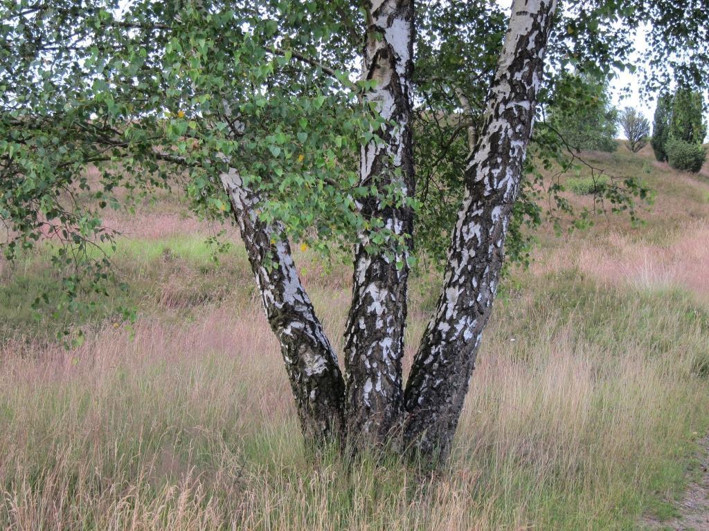Birken sind ein charakteristischer Baum der Lüneburger Heide