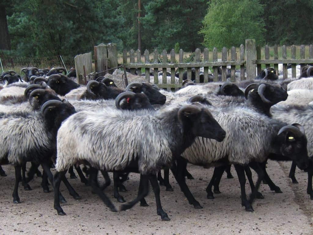 Heidschnucken beim Eintrieb in den Schafstall