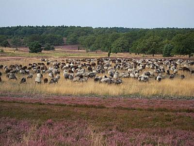 Äsende Heidschnucken im Naturschutzpark Lüneburger Heide in der Nähe des Wilseder Berges