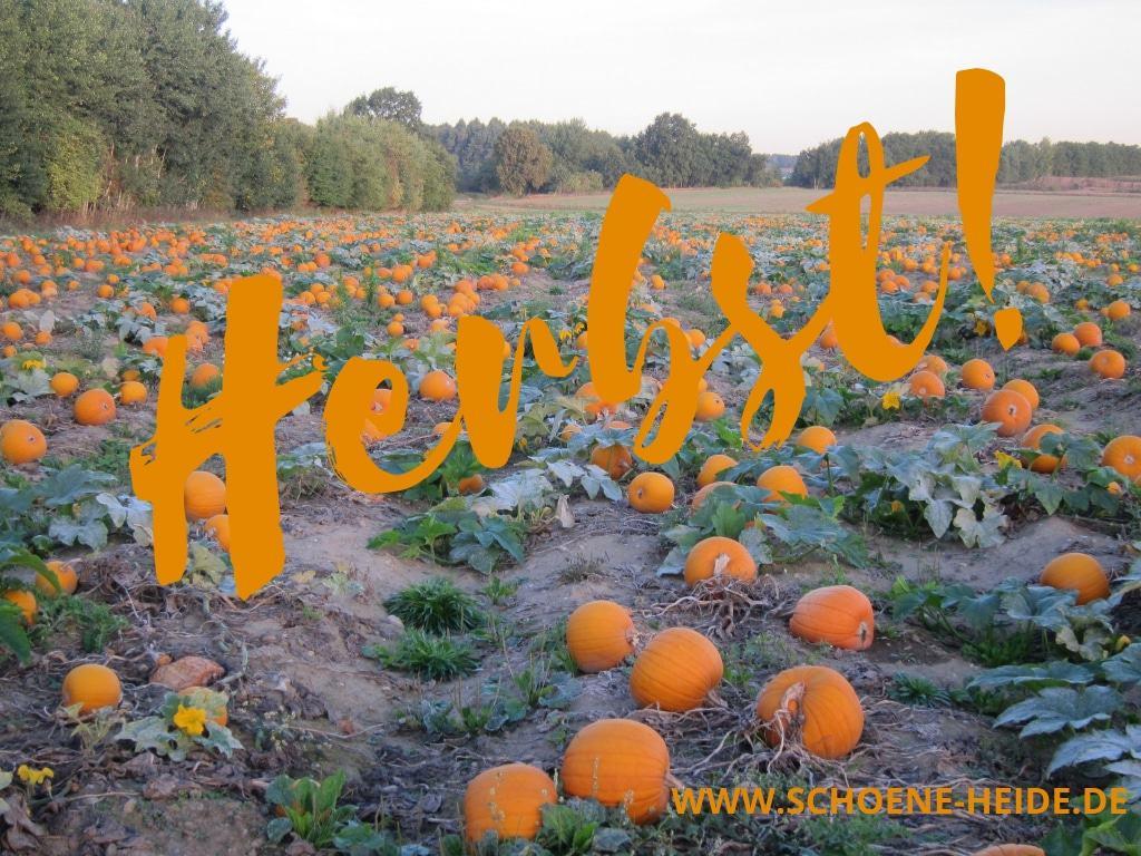 Herbstanfang - Kürbisfeld in der Lüneburger Heide