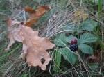 Herbstimpressionen: Eichenlaub und Brombeeren