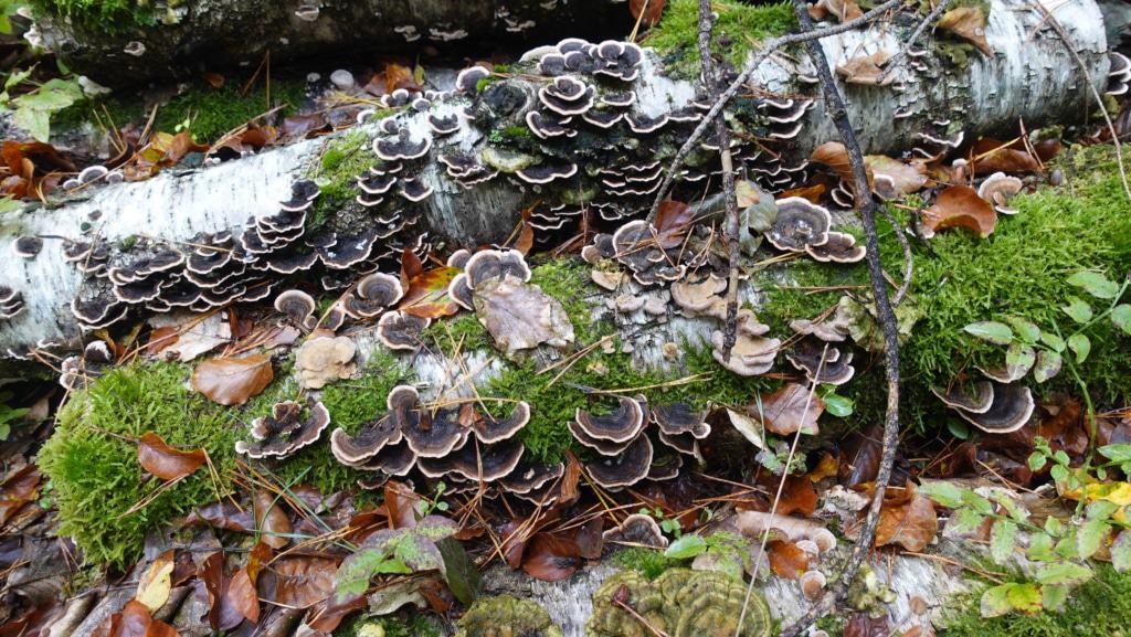 Herbstpilze auf dem Waldgeschichtspfad Schooten bei Hösseringen | Foto: SCHÖNE HEIDE