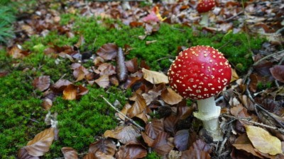 Fliegenpilz - Herbstpilze auf dem Waldgeschichtspfad Schooten bei Hösseringen | Foto: SCHÖNE HEIDE