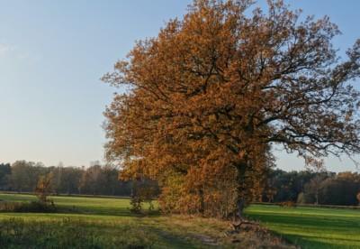Herbststimmung mit Eichen
