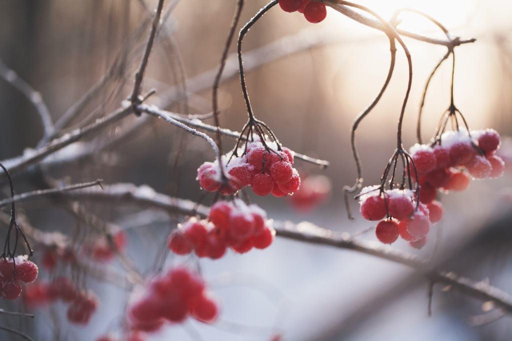 Rote Beeren mit Raureif vor Schneelandschaft Foto: unsplash.com/@mariashanina