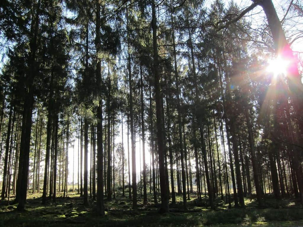 Im Nadelwald zwischen Wilseder Berg und Einem