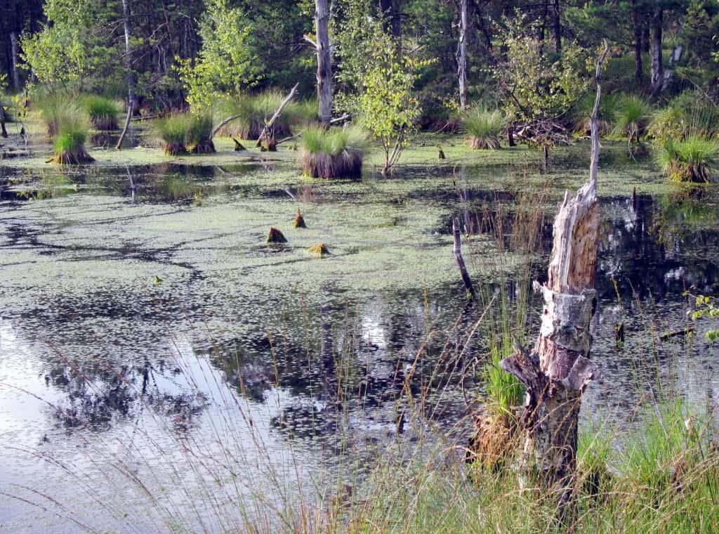 Große Wasserflächen mit abgestorbenen Bäumen - Indizien für die Renaturierung des Pietzmoores