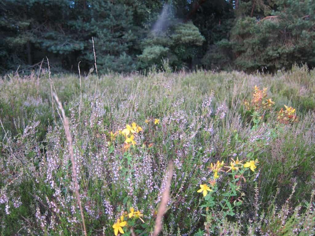 Heidekraut (Calluna vulgaris) und Johanniskraut in der Schwindebecker Heide