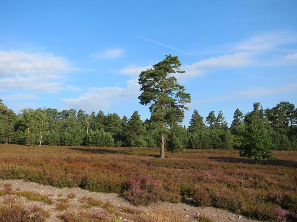 Die Heide beginnt zu blühen - Impressionen aus der Schwindebecker Heide