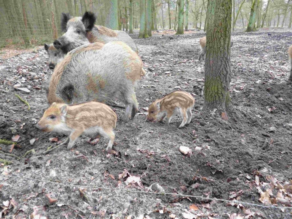 Gäste des Jagdmuseum Wulff können jetzt auch die kleinen Frischlinge im Wildgehege des Museums beobachten. Foto: Jagdmuseu