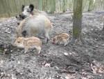 Frischlinge im Wildgehege des Jagdmuseums in Dedelstorf-Oerrel