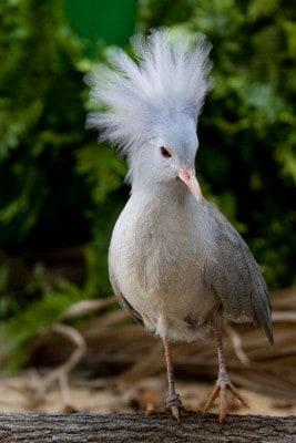 Nationalvogel Neukaledoniens: Der Kagu. Foto: Weltvogelpark Walsrode