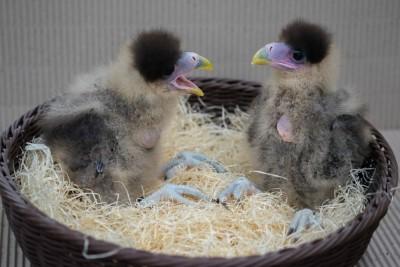 Küken der Karakaras, Foto: Weltvogelpark Walsrode 2016
