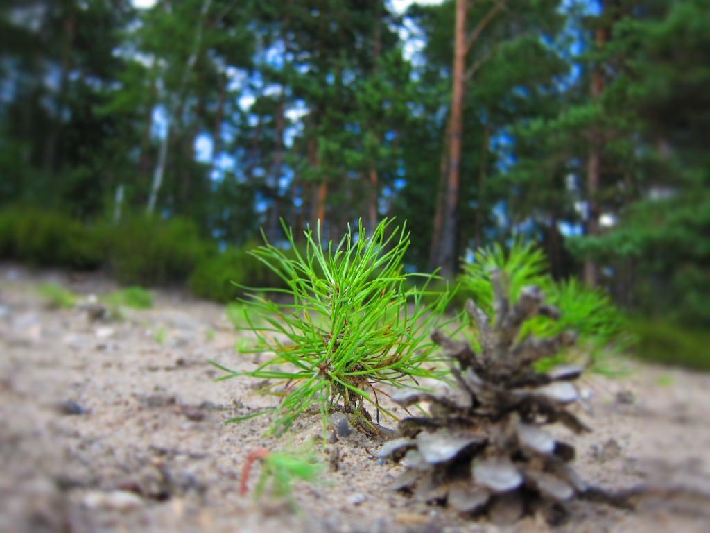 Kleine Kiefernpflanze und Kiefernzapfen auf Sandboden in der Lüneburger Heide