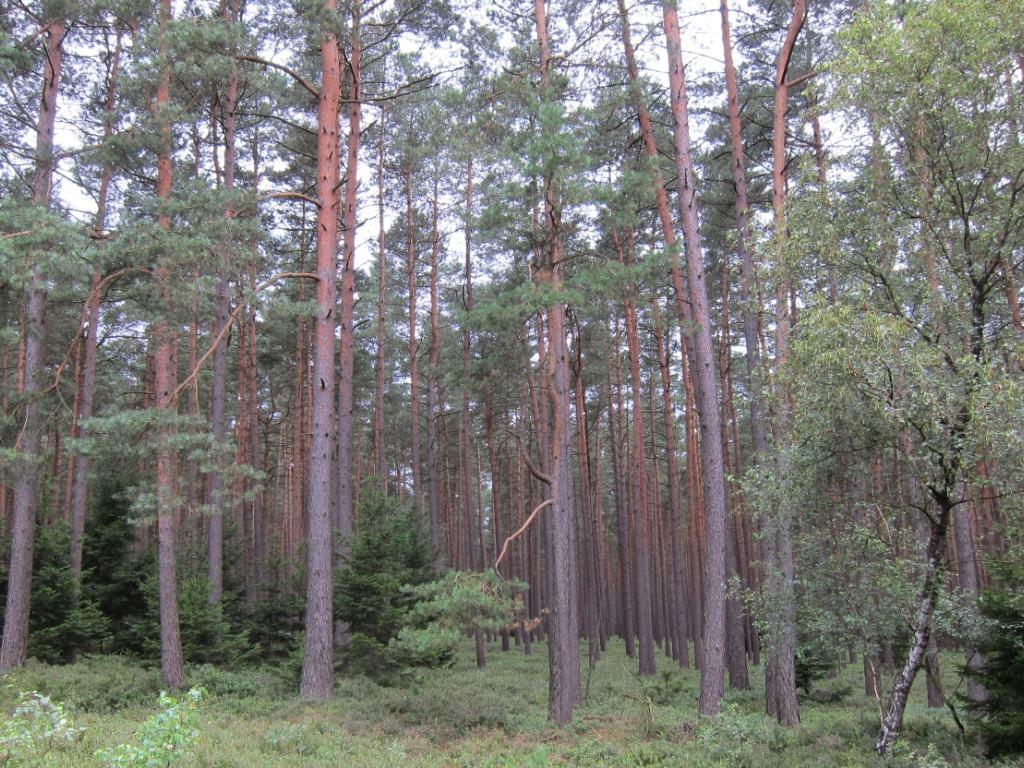 Kiefernwald am Heidepanoramaweg in der Misselhorner Heide