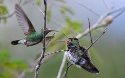 Kolibri bei der Fütterung eines Jungtiers Foto: Weltvogelpark Walsrode