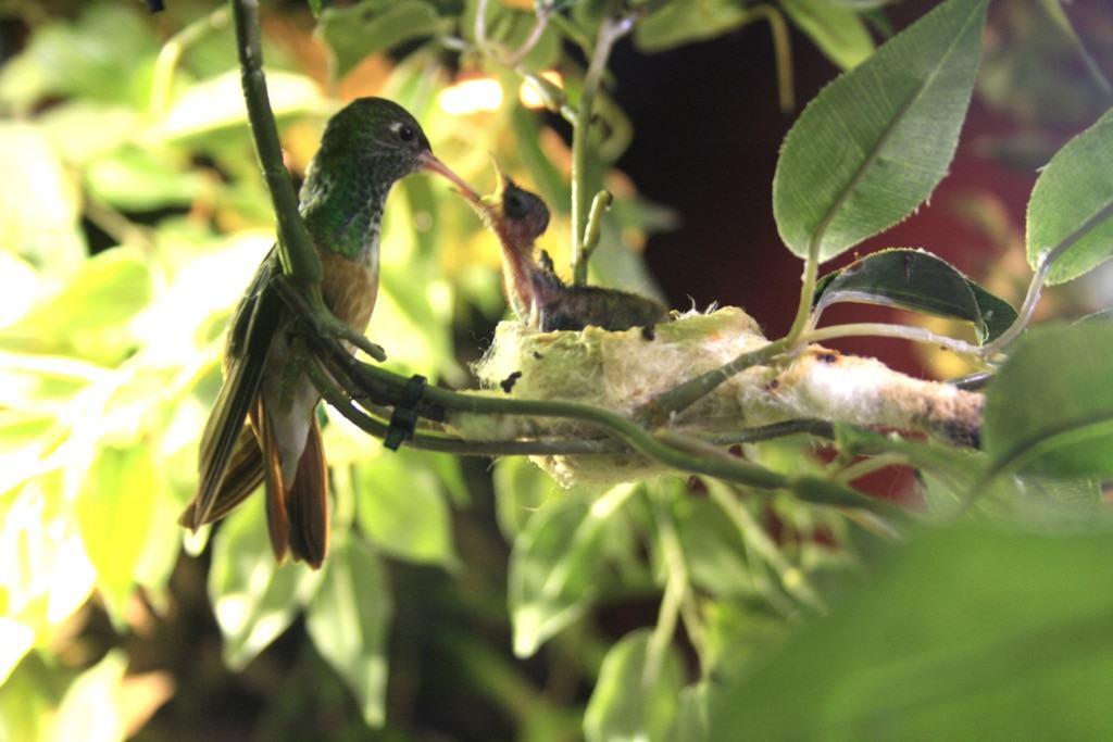 Kolibri mit Küken, Foto: Weltvogelpark Walsrode