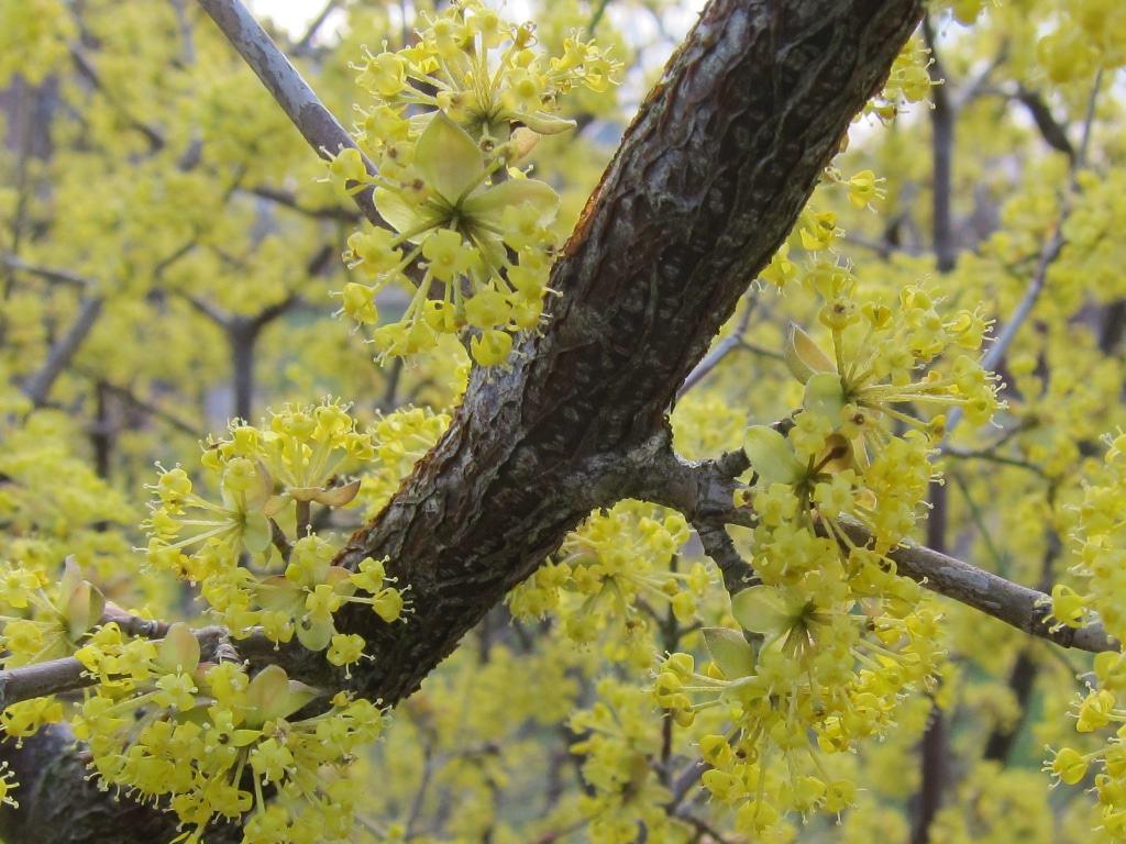 Kornelkirschenblüten (Cornus mas)