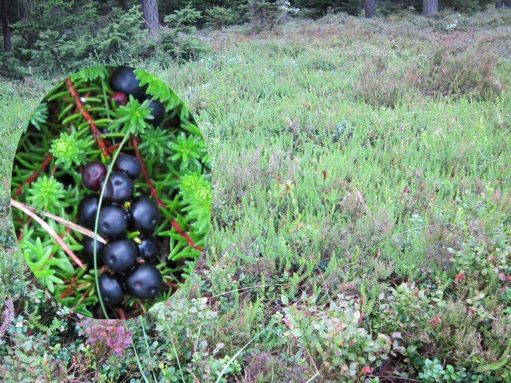 Schwarze Krähenbeeren (Empetrum nigrum) - Pflanzen und reife Früchte