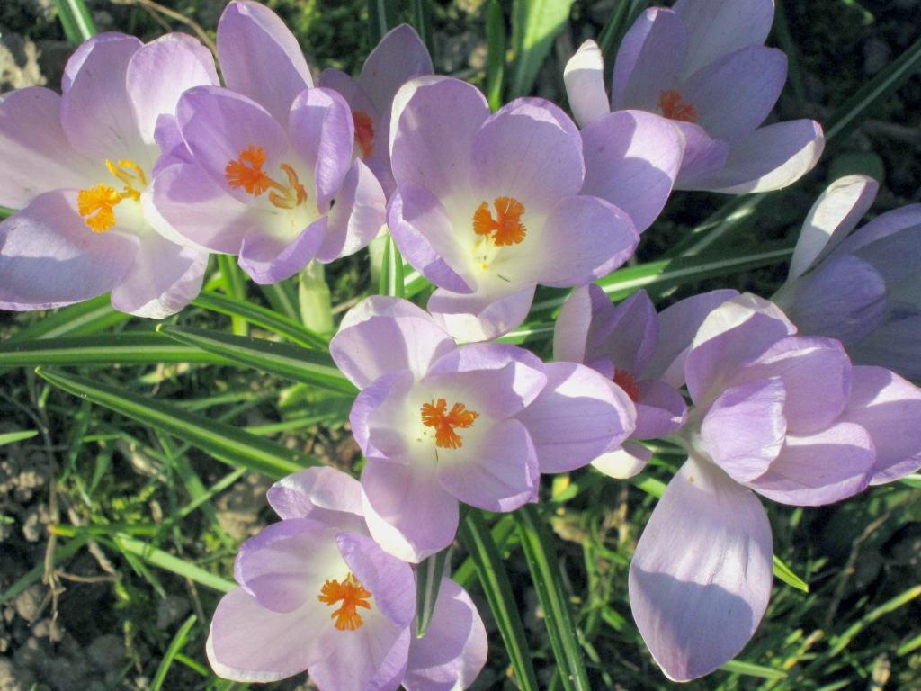 Blühende zartlilafarbene Krokusse