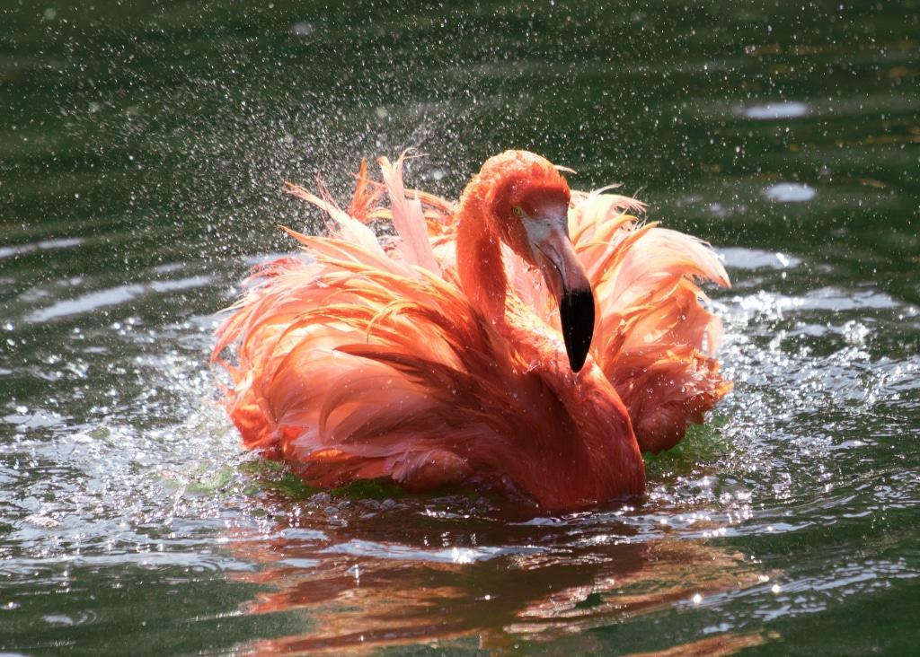 Der Kubaflamingo genießt die Abkühlung im Wasserbecken. Foto: Weltvogelpark Walsrode