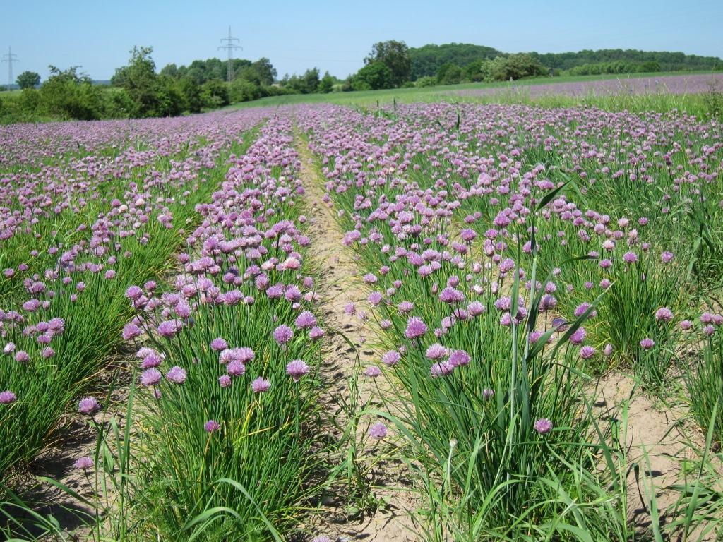 Ein toller Anblick: blühender Schnittlauch auf einem Feld in der Nähe von Beesem.